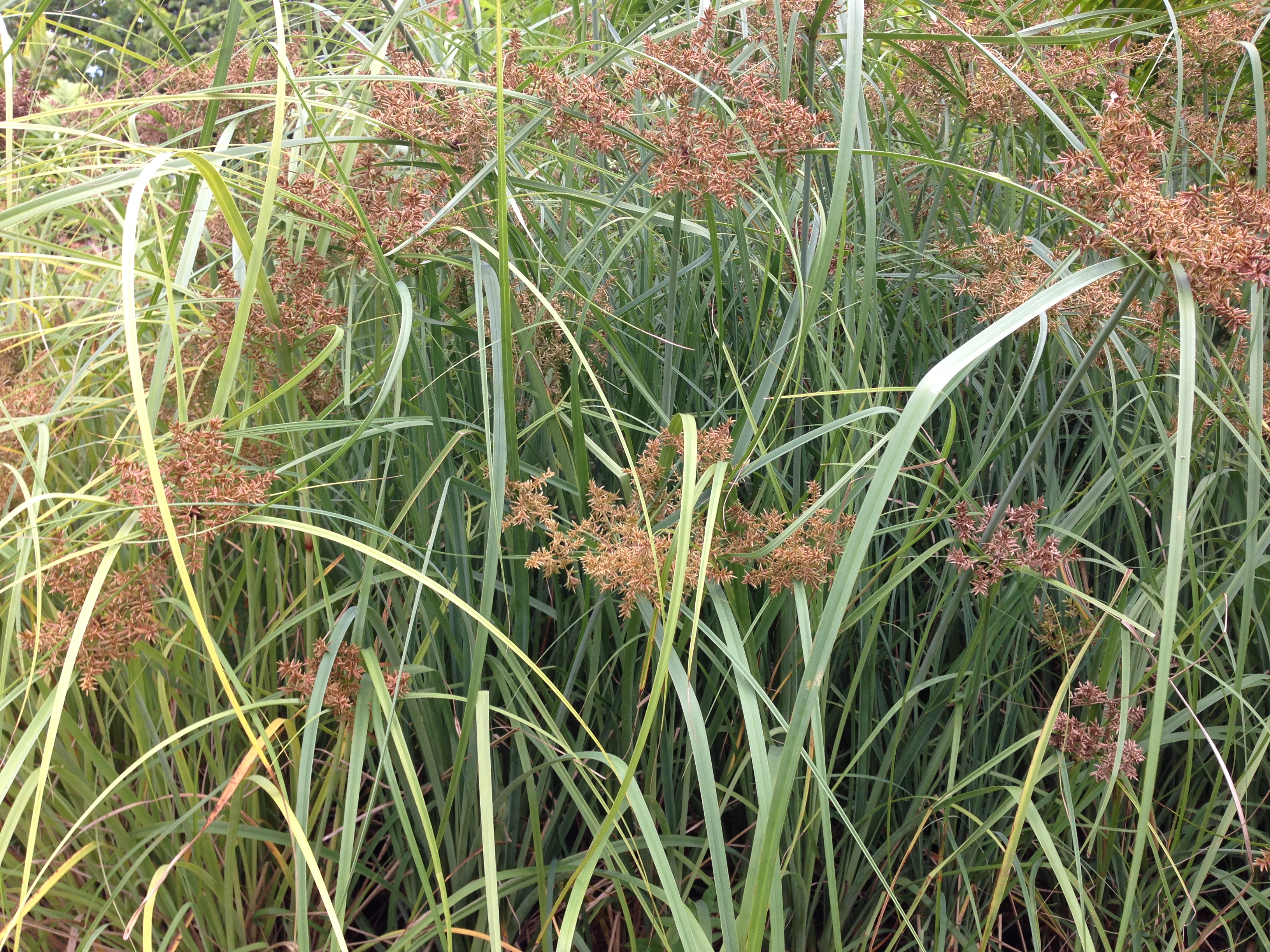 'Ahu'awa Native Hawaiian Sedge