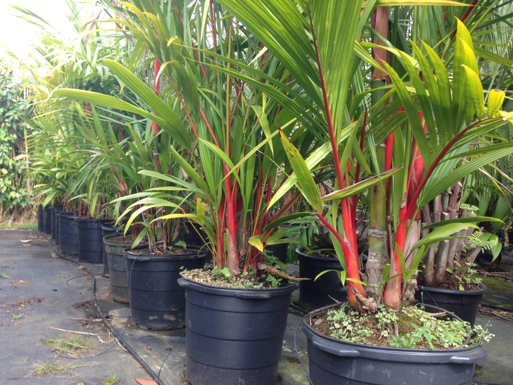 Red Sealing Wax Palms For Sale At Kauai Seascapes Nursery
