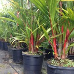 Palm trees for sale at Kauai Seascapes Nursery