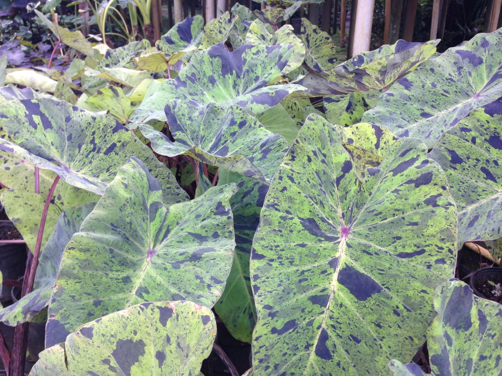 Taro with variegated leaves