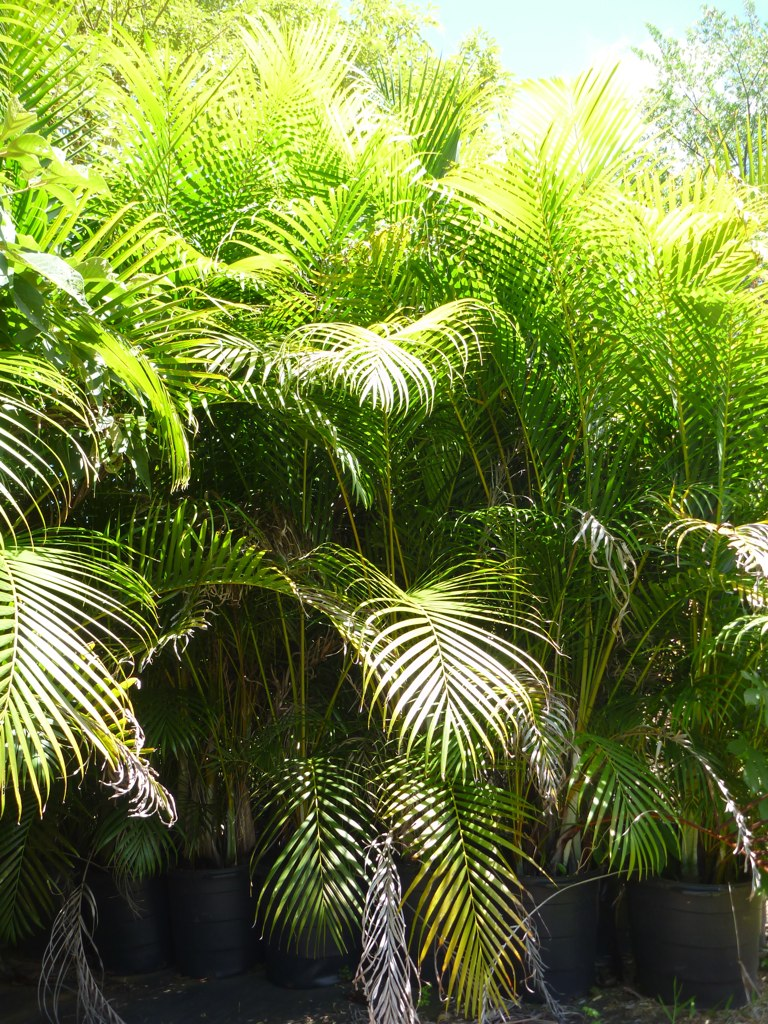 Areca Palms in Pots Kauai