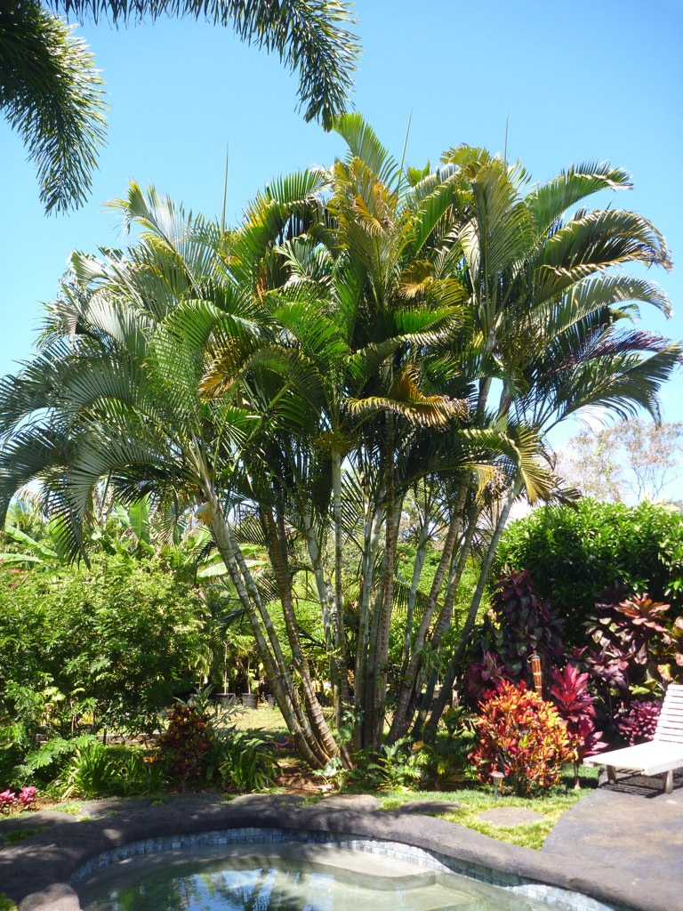 Areca Palms for Sale at Kauai Seascapes Nursery