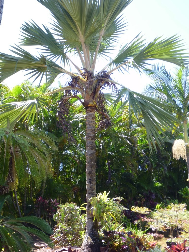 Mature Blue Latan Palm
