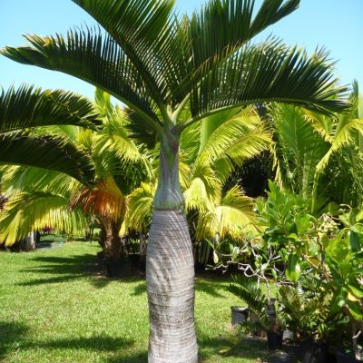Bottle Palm