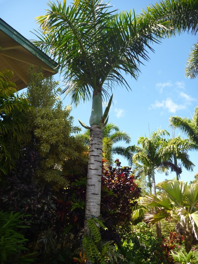 Mature Spindle Palm