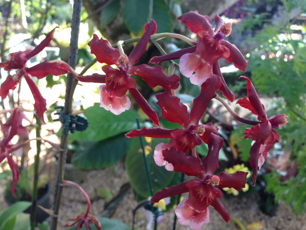 Orchids For Sale At Kauai Seascapes Nursery