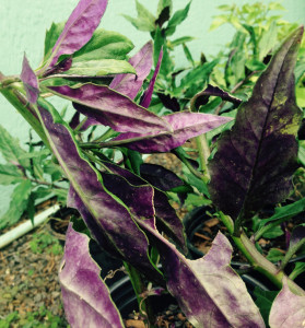 Okinawan Spinach flashes it's purple leaves