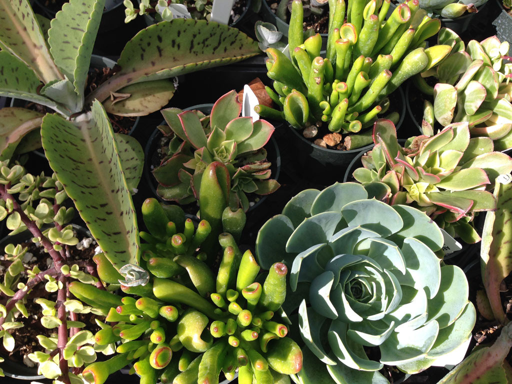 Succulents for sale at Kauai Seascapes Nursery
