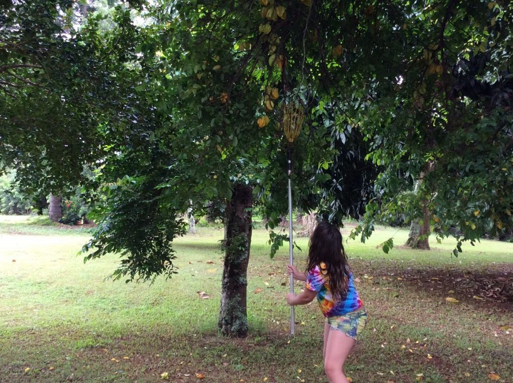Picking Starfruit
