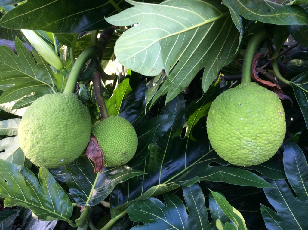Ulu / Breadfruit
