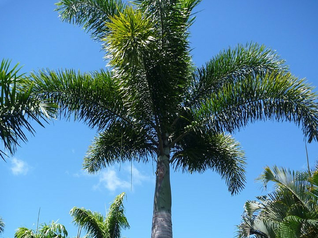Fox Palm and Blue Sky