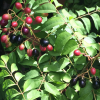 Curry Leaf Tree with Edible Fruit