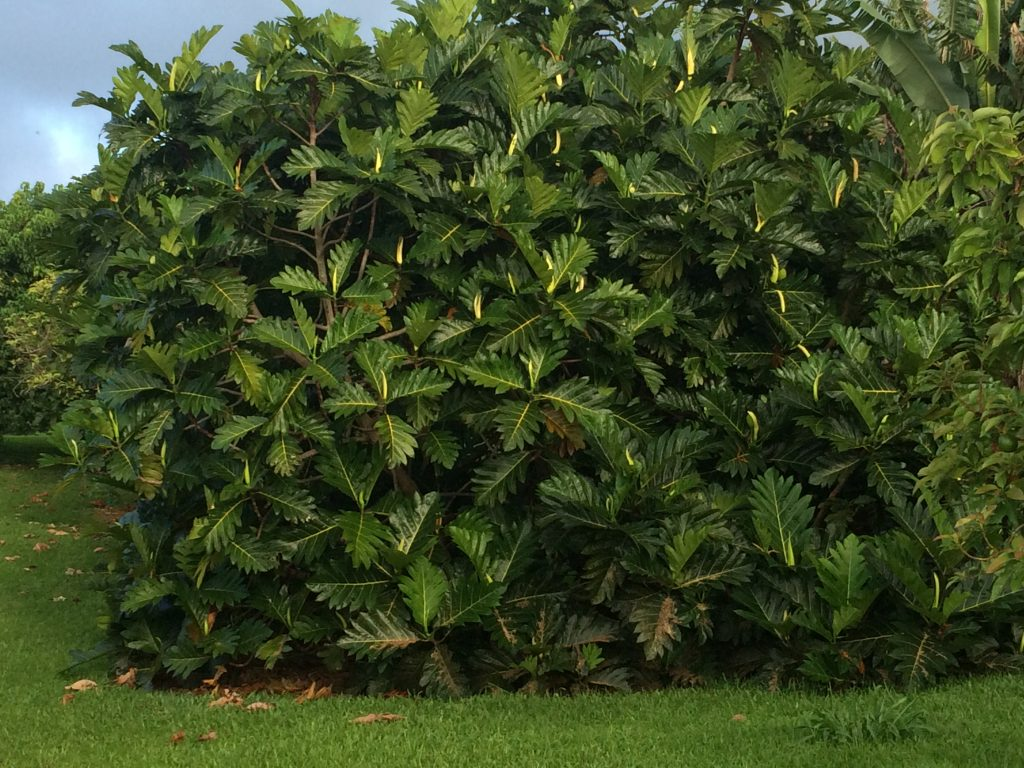 Full Grown Ulu Tree