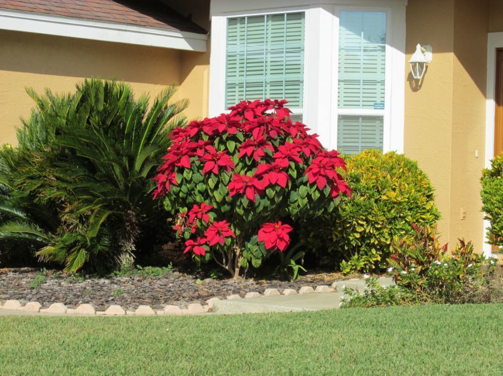 Caring for Poinsettias After The Holidays - Kauai ...